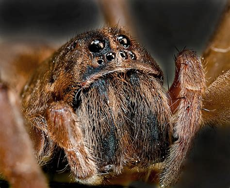 Wolf Spider Free Stock Photo - Public Domain Pictures