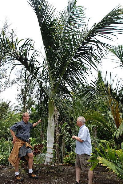 Dypsis malcomberi - Palmpedia - Palm Grower's Guide